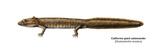 Urodele Larva, California Giant Salamander (Dicamptodon Ensatus), Amphibians Posters