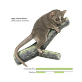 Gray Mouse Lemur (Microcebus Murinus), Mammals Posters by  Encyclopaedia Britannica