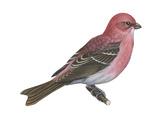 Pine Grosbeak (Pinicola Enucleator), Birds Print