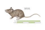 House Mouse (Mus Musculus), Mammals Posters by  Encyclopaedia Britannica