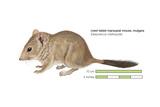 Crest-Tailed Marsupial Mouse (Dasycercus Cristicauda), Mulgara, Mammals Posters