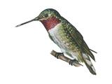 Broad-Tailed Hummingbird (Selasphorus Platycercus), Birds Poster by  Encyclopaedia Britannica