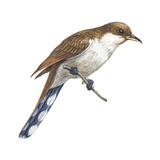 Yellow-Billed Cuckoo (Coccyzus Americanus), Birds Reproduction sur métal par  Encyclopaedia Britannica