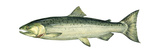 Coho (Oncorhynchus Kisutch), Silver Salmon, Fishes Posters by  Encyclopaedia Britannica