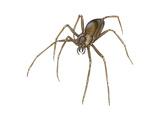 Brown Recluse (Loxosceles Reclusa), Violin Spider, Arachnids Posters af Encyclopaedia Britannica