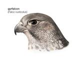 Head of Gyrfalcon (Falco Rusticolus), Birds Prints by  Encyclopaedia Britannica