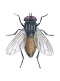 Housefly (Musca Domestica), Insects Prints by  Encyclopaedia Britannica