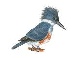 Kingfisher (Megaceryle Alcyon), Birds Photo by  Encyclopaedia Britannica
