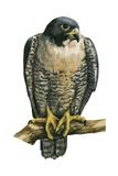 Peregrine Falcon (Falco Peregrinus), Duck Hawk, Birds Posters van  Encyclopaedia Britannica