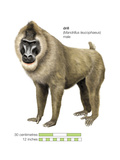 Male Drill (Mandrillus Leucophaeus), Monkey, Mammals Posters