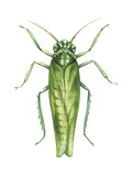 Potato Leafhopper (Empoasca Fabae), Insects Posters