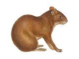 Agouti (Dasyprocta Aguti), Mammals Prints