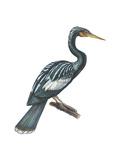 Anhinga (Anhinga Anhinga), Birds Poster by  Encyclopaedia Britannica