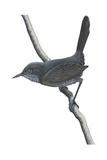 Gray Wren-Warbler (Calamonastes Simplex), Birds Affiches
