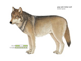 Gray or Timber Wolf (Canis Lupus), Mammals Print by  Encyclopaedia Britannica
