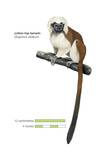 Cotton-Top Tamarin (Saguinus Oedipus), Monkey, Mammals Poster by  Encyclopaedia Britannica