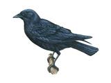 American Crow (Corvus Brachyrhynchos), Birds Posters by  Encyclopaedia Britannica