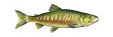 Chum Salmon (Oncorhynchus Keta), Fishes Poster by  Encyclopaedia Britannica