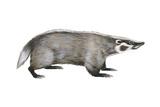 American Badger (Taxidea Taxus), Weasel, Mammals Print by  Encyclopaedia Britannica