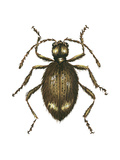 Spider Beetle Insect, Family Ptinidae, Suborder Polyphaga Posters