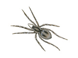 Forest Wolf Spider (Gladicosa Gulosa), Arachnids Prints by  Encyclopaedia Britannica