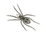 Forest Wolf Spider (Gladicosa Gulosa), Arachnids Prints