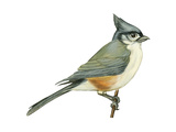Tufted Titmouse (Parus Bicolor), Birds Reproduction sur métal par  Encyclopaedia Britannica