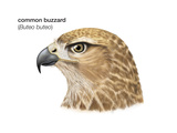 Head of Common Buzzard (Buteo Buteo), Birds Reproduction sur métal par  Encyclopaedia Britannica