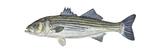 Striped Bass (Roccus Saxatilis), Fishes Posters van  Encyclopaedia Britannica