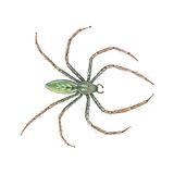 Green Lynx Spider (Peucetia Viridans), Arachnids Posters