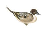 Northern Pintail (Anas Acuta), Duck, Birds Photo by  Encyclopaedia Britannica