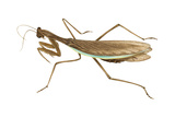Chinese Mantis (Tenodera Sinensis), Insects Photo