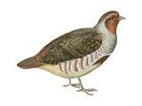 Hungarian Partridge (Perdix Perdix), Birds Prints by  Encyclopaedia Britannica