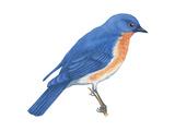 Eastern Bluebird (Sialia Sialis), Birds Plakater af Encyclopaedia Britannica