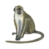 Green Monkey (Cercopithecus Sabaeus), Mammals Stretched Canvas Print by  Encyclopaedia Britannica