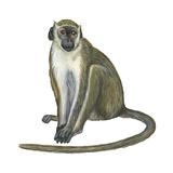 Green Monkey (Cercopithecus Sabaeus), Mammals Prints