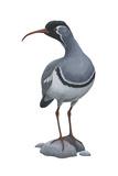Ibisbill (Ibidorhyncha Struthersii), Birds Posters par  Encyclopaedia Britannica