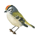 Golden-Crowned Kinglet (Regulus Satrapa), Birds Posters by  Encyclopaedia Britannica