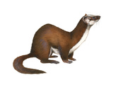 Long-Tailed Weasel (Mustela Frenata), Mammals Prints by  Encyclopaedia Britannica