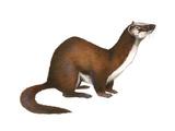 Long-Tailed Weasel (Mustela Frenata), Mammals Prints