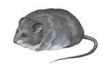 Desert Dormouse (Selevinia Betpakdalaensis), Selevin's Mouse, Mammals Prints