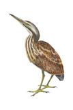 American Bittern (Botaurus Lentiginosus), Birds Affiches par  Encyclopaedia Britannica