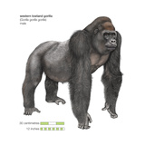 Male Western Lowland Gorilla (Gorilla Gorilla Gorilla), Ape, Mammals Prints by  Encyclopaedia Britannica