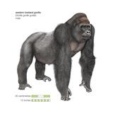 Male Western Lowland Gorilla (Gorilla Gorilla Gorilla), Ape, Mammals Prints