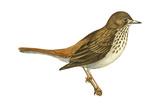 Hermit Thrush (Catharus Guttatus), Birds Photo by  Encyclopaedia Britannica