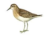 Least Sandpiper (Calidris Minutilla), Birds Posters by  Encyclopaedia Britannica