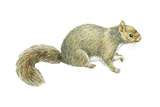 Gray Squirrel (Sciurus Carolinensis), Mammals Prints by  Encyclopaedia Britannica