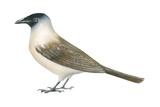 Jackdaw (Corvus Monedula), Birds Prints by  Encyclopaedia Britannica