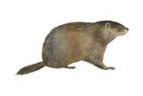 European Marmot (Marmota Marmota), Mammals Prints