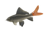 """Red-Tailed Black """"Shark"""" (Labeo Bicolor), Fishes Posters by  Encyclopaedia Britannica"""